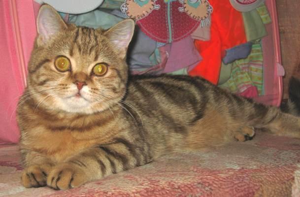 Кошечка 5мес окрас шоколадный мрамор