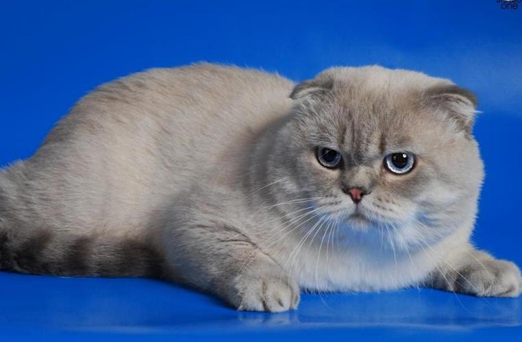 Породы кошек кошачьи породы о породах кошек порода кошки